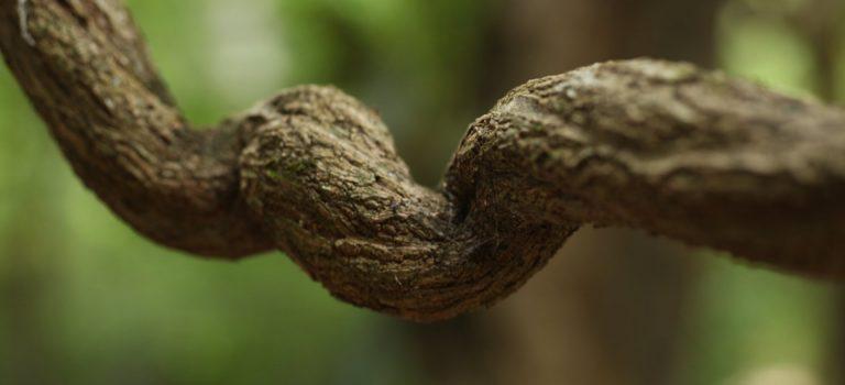 La ayahuasca cumple 1,25 millones de años
